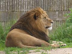 Lions, 4