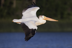 Pelican (Peter Stahl Photography) Tags: americanwhitepelican