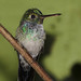 Blue-chested Hummingbird, Amazilia amabilis