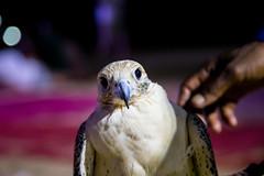 Desert Safari (6 of 6) (Imran Shahabuddin) Tags: abudhabi unitedarabemirates ae