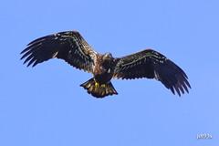 Bald Eagle (juvenile) (jt893x) Tags: 150600mm americanbaldeagle baldeagle bif bird d500 eagle haliaeetusleucocephalus jt893x juvenile nikon nikond500 raptor sigma sigma150600mmf563dgoshsms specanimal