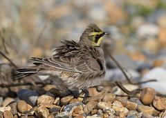 Shorelark (Steve Ashton Wildlife Images) Tags: shorelark lark horned hornedlark sandwich bay kent