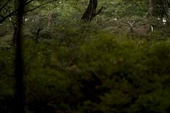 Wild (RenField - Toel-ul Laputa) Tags: nikon d800e tokina 100mm macro nature wild green deer japan jpn kyusyu miyazaki ebino