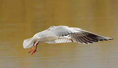 Gull in flight (Bogger3. Off Line) Tags: gullinflight venuspool canon600d tamron150x600lens fullzoom handheld coth5