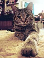 2008- Bender (teresamarkos) Tags: bender cat cats kitten kittens felines feline