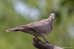 Streptopelia decaocto - Tortora dal collare - Collared dove. (Ciminus) Tags: naturesubjects aves ornitologia nature ciminus birds ciminodelbufalo afsnikkor300mmf28gedvrii tortoradalcollare wildlife streptopeliadecaocto collareddove oiseaux garden nikond500 uccelli ornitology