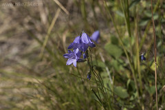 """Harebells • <a style=""""font-size:0.8em;"""" href=""""http://www.flickr.com/photos/63501323@N07/29900454550/"""" target=""""_blank"""">View on Flickr</a>"""