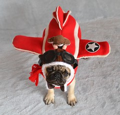 Boo The Pilot Pug (DaPuglet) Tags: pug pilotsnpaws airplane plane pugs dog dogs pet pets animal animals aviator pilot halloween costume cute puppy puppies hat coth alittlebeauty coth5 sunrays5