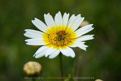 Gluttony (ILO DESIGNS) Tags: nature flora flowers insects beetle trichodes daisy wildlife meadow green white red sunlight outdoors pollen close europe spain sevilla