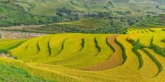 G2555-56.0912.Cầu Ba Nhà.Chế Cu Nha.Mù Cang Chải.Yên Bái (hoanglongphoto) Tags: asia asian vietnam northvietnam northwestvietnam outdoor landscape scenery vietnamlandscape vietnamscenery terraces terracedfields teracedfieldslandscape harvest terracedfieldsinvietnam hill curve curves hillside canon canoneos5dmarkii tâybắc yênbái mùcangchải chếcunha cầubanhà phongcảnh ngoàitrời ruộngbậcthang ruộngbậcthangmùcangchải lúachín mùagặt mùalúachín mùagặtmùcangchải đườngcong abstract trừtượng ngọnđồi sườnđồi zeissdistagont235ze 1x2 imagesize1x2 tỉlệkíchthướcảnh1x2