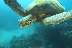 IMG_0108 copy (Aaron Lynton) Tags: lyntonproductions scuba diving snorkel underwater maui hawaii onebreath turtle honu hawaiiangreenseaturtle hawaiian greenseaturtle seaturtle canon g1x