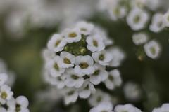 Sweet Alyssum (joka2000) Tags: sweetalyssum flower macro