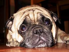 Pugsley (Jaye Eryk) Tags: pug aww cute adorable sad puppydogeyes look wrinkles furbaby dog pet love precious face meltyourheart