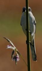 Oct 22 201620543 (Lake Worth) Tags: animal animals bird birds birdwatcher everglades southflorida feathers florida nature outdoor outdoors waterbirds wetlands wildlife wings canoneos1dxmarkii canonef500mmf4lisiiusm