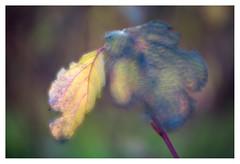 Cornus leaves (leo.roos) Tags: leaf blad leaves bladeren autumn herfst fall oktoberfest2016 challenge dyxum soft glowing ethereal dreamy velvety lensbabyvelvet5616 emount a7 darosa leoroos