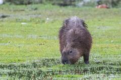 Capybara, Hydrochoerus hydrochaeris. (jwsteffelaar) Tags: hydrochoerushydrochaeris capybara taxonomy:binomial=hydrochoerushadrochaeris