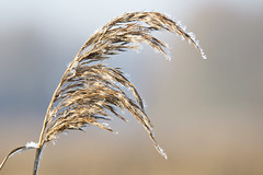 Vorst-Frost (Bram Reinders(on-off)) Tags: vorst frost natuur biessumerbos biessum nature curiosityisthesourceofallknowledge nieuwsgierigheidisdebronvanallekennis groningen holland nederland thenetherlands nikond600 tamronsp150600mmf563divcusd tamron tamron150600 150600 nikon bramreindersdelfzijl bramreinders bram reinders delfzijl wwwbramreindersnl