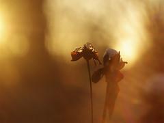 _IGP9192_web (Erik Koffmar) Tags: orange outdoor helios 442 m42 flower koffmar uppsala norby sweden brown bokeh vintage vintagelens pentax k10d macroflowerlover macrodreams goldenlight golden nature