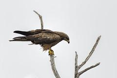 Black Kite 2016-11-27 (60D_5619) (ajhaysom) Tags: blackkite milvusmigrans pointwilson westerntreatmentplant melbourne australia australianbirds canoneos60d sigma150600