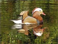 Mandarijneend 05a (engelsejann) Tags: natuur vogel mandarijneend