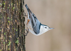 Sittelle  poitrine blanche - White-breasted Nuthatch (Amlie Gagnon) Tags: