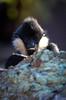 Northern White-cheeked Gibbon (mellting) Tags: djurparker eskilstuna parkenzoo platser sigma1506005063sport bloggad flickr instagram matsellting mellting nikon nikond7000 sverige sweden hylobatesleucogenys gibbon whitecheekedgibbon northernwhitecheekedgibbon vitkindadgibbon ape monkey zoo animal primate