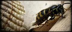 Wasp (brandoncvn72) Tags: wasp seashell sting nature mothernature canonsx50hs canon insect vespulavulgaris