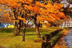 十和田湖畔 (linwujin) Tags: asia japan maple tree leaf orange yellow lake colour colorfull color fujifilm xt1 xf1655 日本東北 十和田