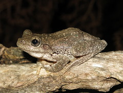 Peron's Laughing Tree Frog (Litoria peroni) (Heleioporus) Tags: perons laughing tree frog litoria peroni south sydney new wales