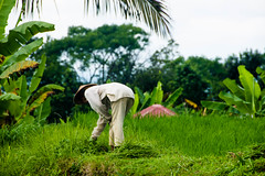 Arrozales de Jatiluwith (fns-k) Tags: agricultor agricultura arroz asia bali blancoynegro campo campos cereales espaa europa fotografia gusto indonesia islasbaleares mallorca sentidos