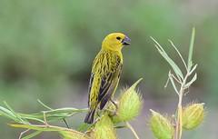 Cuckoo Finch  (Anomalospiza imberbis) (Ian N. White) Tags: cuckoofinch anomalospizaimberbis kroondal northwest southafrica