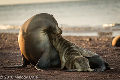 Sea Lion, Rabida Island, Galapagos, mother and pup playing (karenmelody) Tags: animal animals ecuador familyotaridae galapagosislands galapagossealion mammal mammals rabida vertebrate vertebrates zalophuswollebaeki