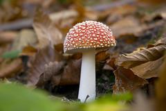 Amanita muscaria (Matteo_Marchionni) Tags: bosco autunno autumn colors colori wood funghi fungo mushroom mushrooms amanita muscaria poison red rosso