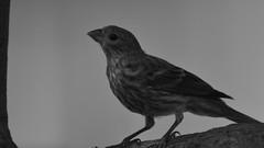 House finch B&W (michaelf133) Tags: bird songbird bill beak wildlife taill birdwatching ceratures birdphotography photography nikon d3100 70300mm texas house finch birdsoftheworld songbirdsoftheworld bw
