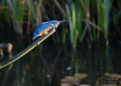 Territorial Behaviour, Kingfisher (mikedenton19) Tags: kingfisher bird alcedoatthis wildlife nature tophill tophilllow yorkshire waterbird territorial behaviour territorialbehaviour