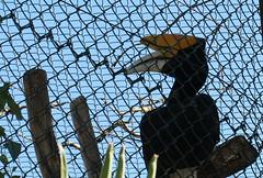 Toucan (AngharadW) Tags: orange wood black beak fencedfriday fence friday blue toucan bird