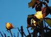 DSC_2104 (PeaTJay) Tags: nikond70s reading lowerearley berkshire macro micro closeups gardens outdoors nature winter frost flora fauna plants flowers rose roses rosebuds