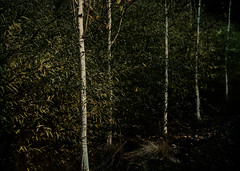 light in the dark (dotintime) Tags: light dark tree birch bamboo line column row upright thin tall dotintime meganlane