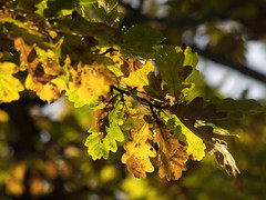 Autumn Colours (Triker-Sticks) Tags: autumn trees nature england leaves foliage oak thelodge sandy rspb