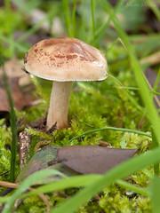 Micromundos (Maite Mojica) Tags: seta musgo hoja seca otoo invierno dehesa suelo micromundo mosquito hierba lluvia humedad roco