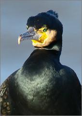 La sagesse du cormoran (berthou.patrick) Tags: la seine à vol de cormoran marielou péniche