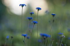 Blue... (milance1965) Tags: nikon d90 85mm 1 8 blau blue macro herbst autumn blte milance vuckovic