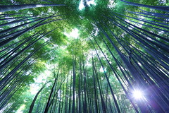 Bamboo forest in Kyoto (Teruhide Tomori) Tags: green forest nature bamboo kyoto japan arashiyama sagano      landscape