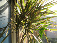 Monday, 5th, In the sunshine IMG_0638 (tomylees) Tags: plant leaves windowsill essex december 2016 monday 5th