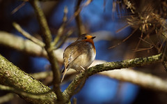 Another Ball of feathers (2048 pixels version) - Robin (Franck Zumella) Tags: bird oiseau rouge gorge robin red breast redbreast bleu arbre foret rougegorge