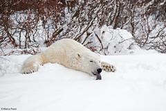 churchill-2016_DSC4854 (Marco Pozzi photographer (800k+ views, thanks)) Tags: polarbear bear orsobianco orsopolare orso churchill monitoba canada marcopozziphotographer marcopozzi pozzi specanimal