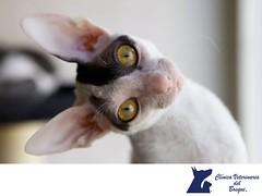 Cornish Rex. CLINICA VETERINARIA DEL BOSQUE 3 (tipsparamascotas) Tags: veterinariadelbosqueveterinariacuidadodemascotasmascotassaludablesesteticacaninaclinicaveterinariadelbosqueespecialistasencuidadodemascotaswwwveterinariadelbosquecomveterinariadelbosque veterinaria cuidadodemascotas mascotas mascotassaludables estticacanina delbosque