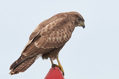 Duivense Broek (Arnold van Wijk) Tags: wildlife wild vogel bird landerijen weiland duiven gelderland nederland netherlands roofvogel