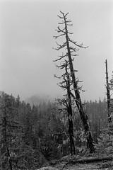 Pair of Burned Trees (bac1967) Tags: wenatchee washington wa pnw pacificnorthwest trix tx kodaktx kodaktrix kodakfilm kodak blackandwhite bw rodinal rodinal150 leicaiiia rangefinder elamr elmarlens leica leicarangefinder blackandwhitefilm lakewenatchee forestfire littlewenatcheeriver forrestfire trees woods outdoors hike trail wenatcheenationalforest