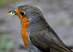 Robin with grubs (Dave McGlinchey) Tags: robin birds avian rspb gardenbirds withfood d5000